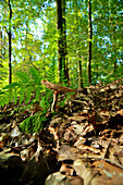 early autumn forest with lamellar mushroom in beech forest with brown leaves on the ground, Central Hesse, Germany