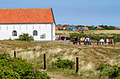Horse Riding, stables on Spiekeroog Island, Nationalpark, North Sea, East Frisian Islands, East Frisia, Lower Saxony, Germany, Europe