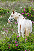 Horse grazing between roses, Rosa rugosa, Spiekeroog Island, Nationalpark, North Sea, East Frisian Islands, East Frisia, Lower Saxony, Germany, Europe