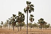 Palm trees in the wind, Dogon land, Mopti region, Mali