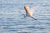 Great egret flying, Lakes Entrance, Victoria, Australia