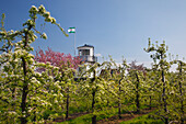 Blossoming trees in front of a lighthouse, near Twielenfleth,  Altes Land, Lower Saxony, Germany