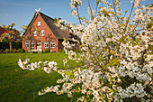 Blossoming trees in front of a farm house with thatched roof, Hofcafe Ottilie, near Mittelnkirchen, Altes Land, Lower Saxony, Germany