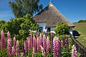 Hyacinths in the garden of the Pfarrwitwenhaus, Gross Zicker, Moenchgut peninsula, Ruegen island, Baltic Sea, Mecklenburg Western-Pomerania, Germany