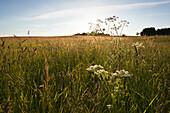 Common yarrow in a meadow, near Sellin, Ruegen island, Baltic Sea, Mecklenburg Western-Pomerania, Germany