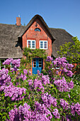 Common lilac in front of a frisian house with thatched roof, Nebel, Amrum island, North Sea, North Friesland, Schleswig-Holstein, Germany