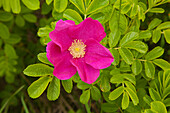 Rugosa rose, Sylter Rose, Sylt island, North Sea, North Friesland, Schleswig-Holstein, Germany