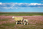 Sheep on a field of sea pinks, Ellenbogen peninsula, Sylt island, North Sea, North Friesland, Schleswig-Holstein, Germany