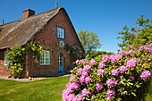 Rhododendron in front of a frisian house, Keitum, Sylt island, North Sea, North Friesland, Schleswig-Holstein, Germany