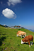 Cattle grazing on an Alpine meadow in front of Steinlingalm, Kampenwand, Chiemgau Alps, Chiemgau, Upper Bavaria, Bavaria, Germany
