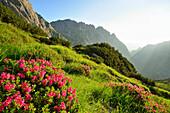 Blooming alpine roses in valley of Hoellental, Schoenangerspitze and Waxenstein in background, Wetterstein mountain range, Upper Bavaria, Bavaria, Germany
