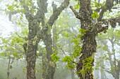 Quercus, Fuentes del Narcea, Degaña e Ibias Natural Park, Asturias, Spain, Europe.