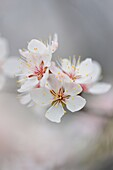 Canada Plum Prunus nigra, Manitoulin Island- Kagawong, Ontario, Canada