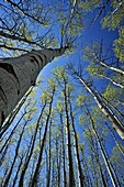 Looking up in an aspen woodland in early spring, Greater Sudbury, Ontario, Canada