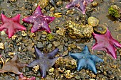 Intertidal invertebrates at low tide on Island Bay- Bat stars (Asterina miniata), Haida Gwaii (Queen Charlotte Islands) Gwaii Haanas NP, British Columbia, Canada.