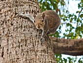 Eastern gray squirrel in palm tree in Florida