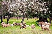 flock of sheep between almond blossom, Esglaieta, Esporlas, mallorca, Balearic Islands, Spain, Europe