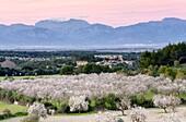 Almond Blossom, Aubenya estate, Algaida, Mallorca Balearic Islands, Spain, Europe