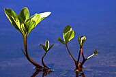 Leaves of Bogbean or Buckbean Menyanthes trifoliata - Region Hesselberg, Bavaria/Germany