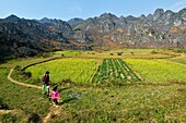 Vietnam, Ha Giang, man of Hmong ethnic goup ploughing his field