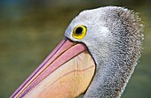 Australian Pelican, Pelecanus conspicillatus, close-up of head. Tin Can Bay. Queesland. Australia