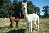 Alpaca (Vicugna pacos) on breeding farm located near Temuco in Chile.