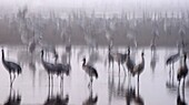 a large flock of Common crane Grus grus Silhouetted at dawn  Large migratory crane species that lives in wet meadows and marshland  It has a wingspan of between 2 and 2 5 metres  It spends the summer in northeastern Europe and western Asia, and overwinter