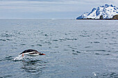 Adult gentoo penguin Pygoscelis papua porpoising for swimming speed in Cooper Bay, South Georgia, South Atlantic Ocean