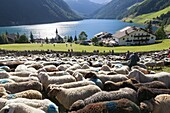 Transhumance - the great sheep trek across the main alpine crest in the Oetztal Alps between South Tyrol, Italy, and North Tyrol, Austria  The sheep arrive in the village of Vernagt vernago where a big folk festival takes place  After arriving in the vall