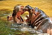 hippopotamus, Hippopotamus amphibius, Chiang Mai Zoo, Chiang Mai, Thailand
