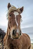 Icelandic horse standing on pastureland  Iceland