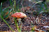 Mushroom Amanita muscaria in the pine Navaleno-Soria-Spain-Europe.