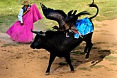 An Andean condor fights against a wild bull during the Yawar Fiesta held in the mountains of Apurímac, Cotabambas, Peru, 30 July 2012  The Yawar Fiesta Feast of Blood, an indigenous tradition which dates back to the time of the conquest, consists basicall