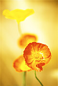 Orange Poppy Facing