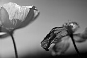 Two Black and White Poppies
