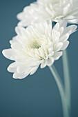 Two White Chrysanthemum Flowers, Close-Up