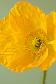 Yellow Poppy Flower on Green Background, Close-Up