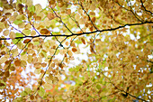 Autumn Leaves on Tree Branches, Low Angle View