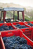 Crates of Grapes on Tractor