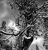 Snow Covered Pine Tree, Low Angle View, Lake Tahoe, California, USA