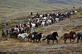 The Big Round-Up Of Herds Of Icelandic Horses, An Icelandic Tradition That Consists Of Bringing Back The Horses Which Had Been In Mountain Pasture In Summer, Skrapatungurett, Northern Iceland, Europe
