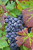 Bunch Of Red Grapes, Pinot Noir Gapes, Vineyards Of Champagne In Autumn, Essomes-Sur-Marne, Aisne (02), France