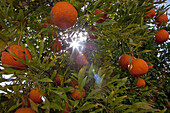Orange Trees And Oranges Ready To Be Picked, Morocco