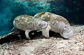 Florida, Crystal River, Two Endangered Manatee, Trichechus Manatus Latirostris.