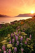 Wildflowers At Sunset Along Turnagain Arm Chugach National Forest Alaska