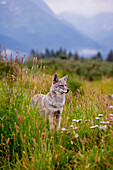 Captive Coyote Stands In Summer Flowers And Grasses At The Alaska Wildlife Conservation Center, Southcentral Alaska