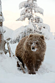 Captive: Female Kodiak Brown Bear Cub Walks In The Snow With Her Face Covered In Snow At The Alaska Wildlife Conservation Center, Southcentral Alaska, Winter