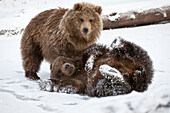 Captive: Pair Of Kodiak Brown Bear Cubs Play And Wrestle In The Snow At Alaska Wildlife Conservation Center, Southcentral, Alaska, Winter