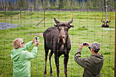 Tourists Stand At Fence And Photograph A Captive Bull Moose At The Alaska Wildlife Conservation Center, Southcentral Alaska, Summer