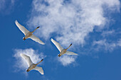 Trumpeter Swans In Flight Overhead During Spring Migration, Marsh Lake, Yukon Territory, Canada